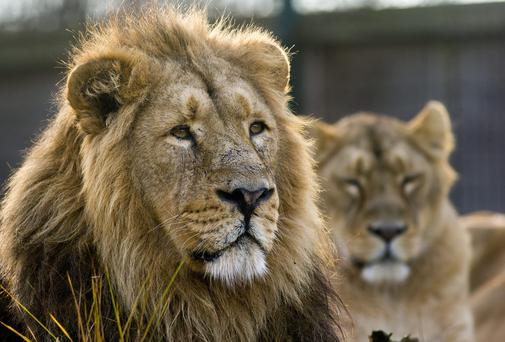 A lion at Dublin Zoo earlier this month. Photo: Marc O'Sullivan