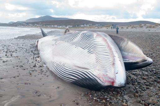 The population of fin whales is increasing in Atlantic waters, and IWDG is warning that whale strandings may become more common on Irish beaches. Credit: Tom Honeyman, courtesy of Irish Whale and Dolphin Group