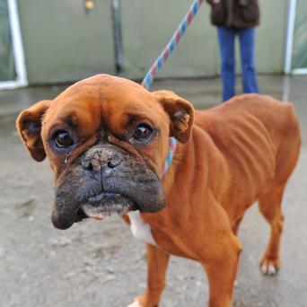 Eve the emaciated boxer dog was left to starve in a bog in Co Meath. Photo: Ciara Wilkinson.