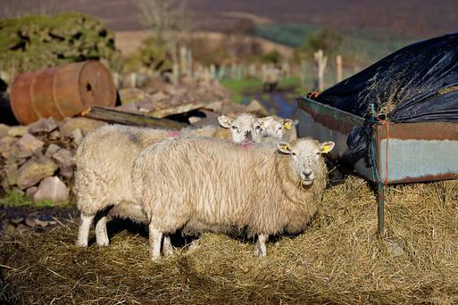 Thriving: Contented sheep in the Comeragh Mountains, Co Waterford over the weekend
