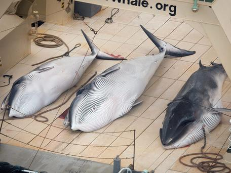 Three Minke whales are pictured on the deck of the Japanese whaling vessel Nisshin Maru inside what Sea Shepherd Australia says is an internationally recognised whale sanctuary