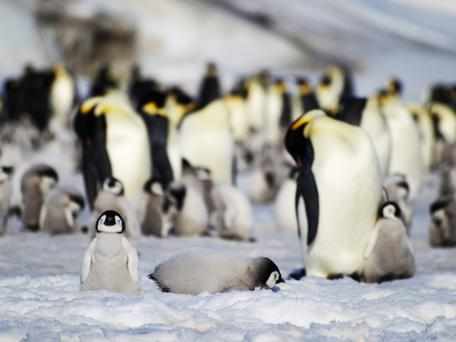 Not a single one of Antarctica's 45 known colonies of Emperor penguins will be immune to melting sea ice
