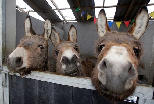 Mares cared for at the Donegal Donkey Sanctuary. Pic: Declan Doherty