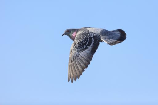 Columba livia, Rock Dove.