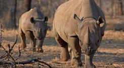 Rhinos are famous for their prominent horns