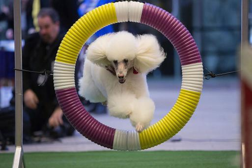 A poodle jumps through a hoop at the 138th Annual Westminster Kennel Club Dog Show