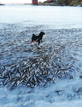 The amazing scene of the frozen fish in Norway