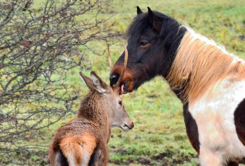 Parkhill, the young deer who has set up home with a herd of horses, with his friend, Charlie. Photo: Emer OShea