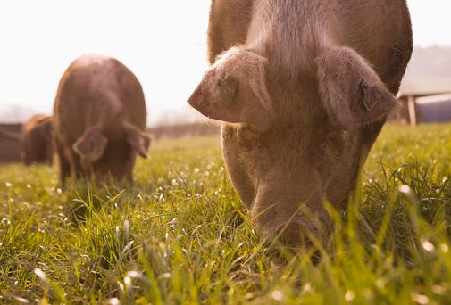 There are claims that there are major flaws in DNA testing of pigmeat.