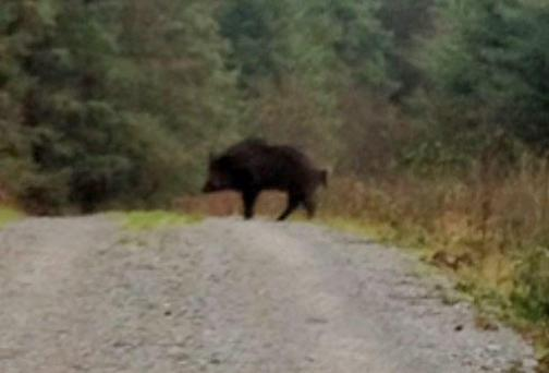 The wild boar was photographed by a walker in a wooded area near Tulla this week. Photo: Press 22