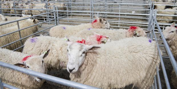 There was disappointment among sheep farmers this week. Photo: Getty Images.
