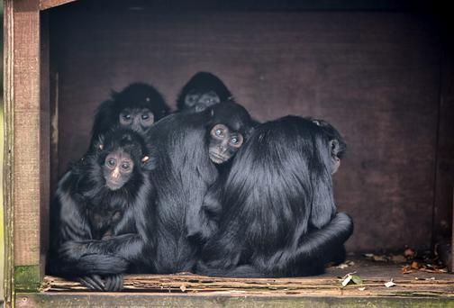 Spider monkeys huddling together in Fota Wildlife Park, Cork yesterday. Floods and torrential rainfall have kept the animals in their houses for almost four days this week. Picture: MICHAEL MAC SWEENEY/PROVISION