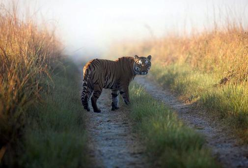 A tiger at the reserve in the northern Indian state of Uttarakhand. Forest officials said another tiger who strayed from the park killed its 10th human victim in six weeks