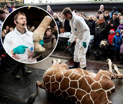 People look on as a vet prepares and then dismembers the giraffe Marius after it was killed in Copenhagen Zoo. The zoo went ahead with a plan to shoot and chop up the healthy giraffe and feed it to the lions