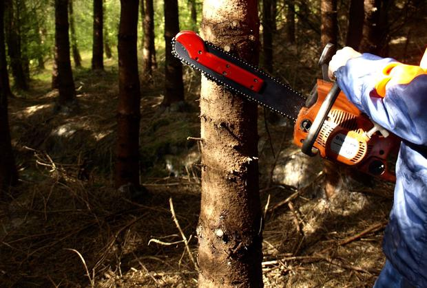 SURPRISE: The second National Forest Inventory, taken in 2013, found that 14.2pc are conifers