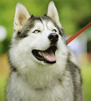 The family dog is an Alaskan Malamute, one of which is pictured here