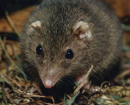 Portrait of a Dusky antechinus, a relation of the black-tailed antechinus, discovered by Australian scientists. (Paul Edwards)