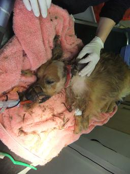 Rambo was found in a distressed state by the DSPCA.
