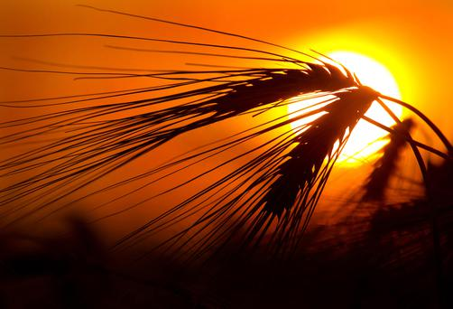 The sun sets over a field of barley