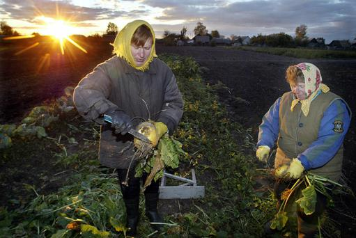 Belarussian farmers harvest the mangel in their field