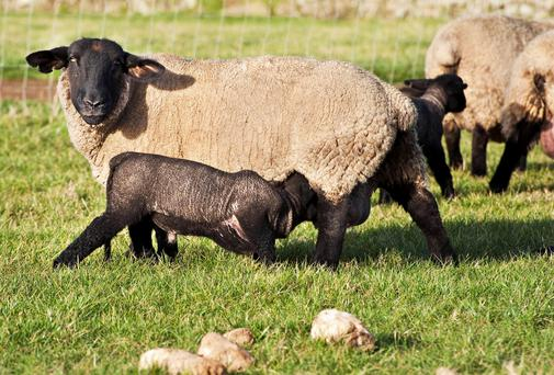 Ewes and lambs are moving out of pasture for Tom Boland.