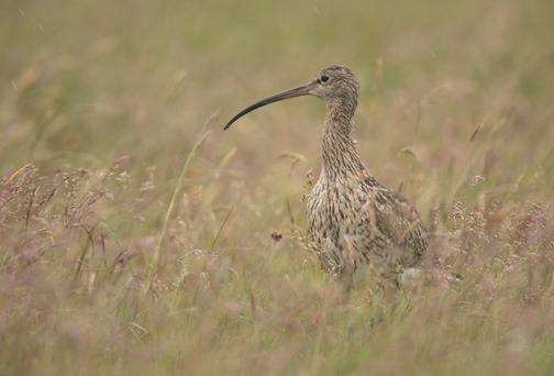The curlew is in danger of extinction