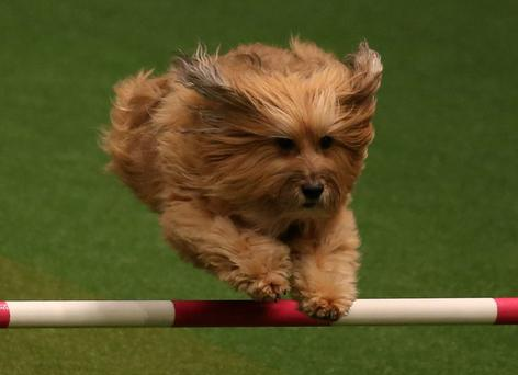 A small dog jumps over a fence in the Rescue Dog Agility show in the main arena on the first day of Crufts dog show at the NEC on March 6, 2014 in Birmingham, England. Said to be the largest show of its kind in the world, the annual four-day event, features thousands of dogs, with competitors travelling from countries across the globe to take part. Crufts, which was first held in 1891 and sees thousands of dogs vie for the coveted title of 'Best in Show'. (Photo by Matt Cardy/Getty Images)