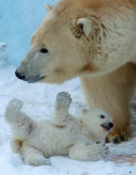 Polar bear Gerda plays with her cub in the Zoo in Novosibirsk, about 2,800 kilometers east of Moscow (AP photo/Ilnar Salakhiev)