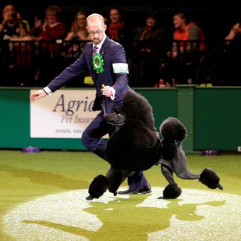 Two-year-old standard poodle Ricky with his handler Jason Lynn during the Best-in-Show contest at Crufts at the NEC in Birmingham, which he went on to win.