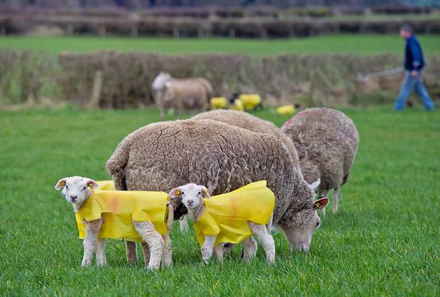 John Large used lamb jackets for the first time in three years in an effort to keep his new-borne lambs dry this year. Photo: Jennifer O'Sullivan.