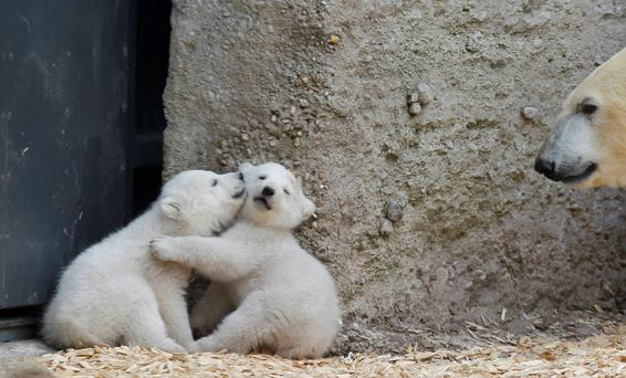 Twin polar bear cubs play as their mother Giovanna watches, outside in their enclosure at Tierpark Hellabrunn in Munich