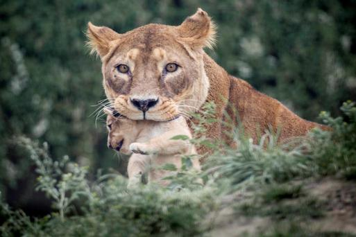 The lion cull is part of a programme to renew the zoo's breeding stock, it says. Photo: Reuters/Mads Nissen/Scanpix