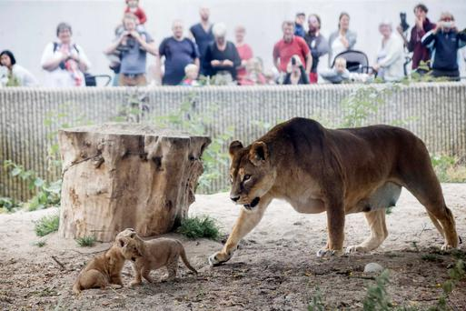 A lion and her cubs enter a lion enclosure for the first time in Copenhagen Zoo inJuly 17, 2013