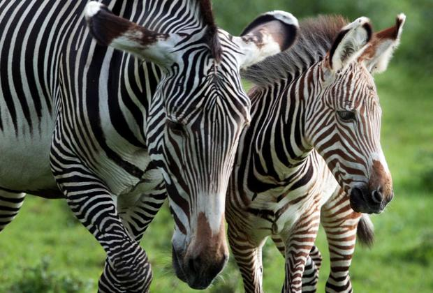 The reason behind Zebras' stripes may have been figured out, say scientists