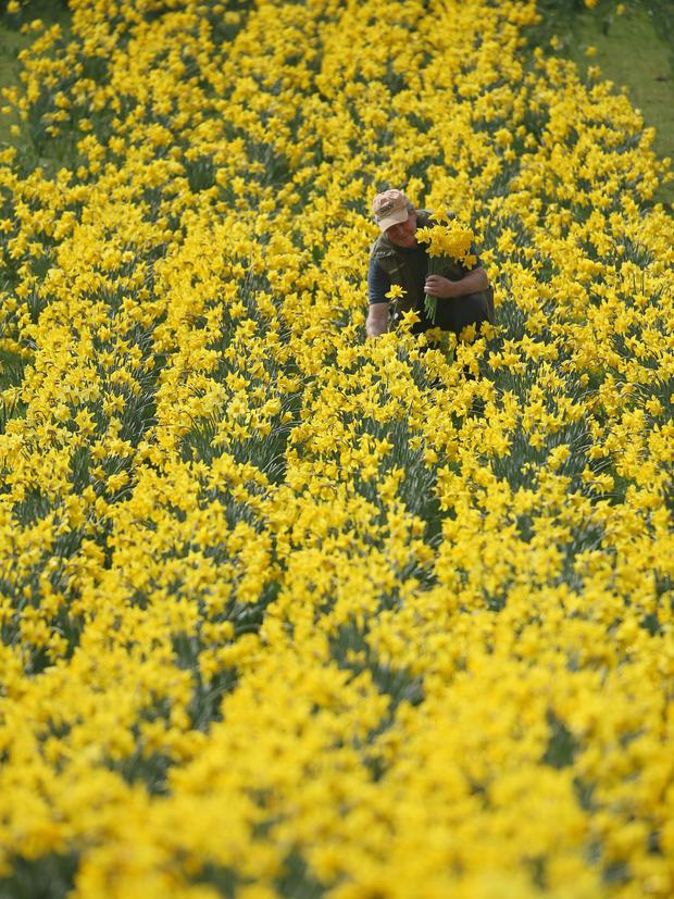 WHITEGATE, UNITED KINGDOM - APRIL 01: Daffodils expert Len Tomlinson picks blooms at Whitegate Daffodil Walk at Foxwist Green Farm in Whitegate, Cheshire, United Kingdom. (Photo by Christopher Furlong/Getty Images)