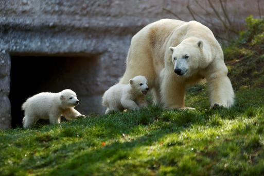 Twin polar bear cubs Nela and Nobby and their mother Giovanna play outside their enclosure at Tierpark Hellabrunn zoo in Munich. Photo: Reuters/Michael Dalder