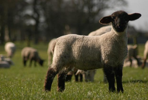 A file photograph of a Suffolk lamb: there were 877 births on the farm of John Large.