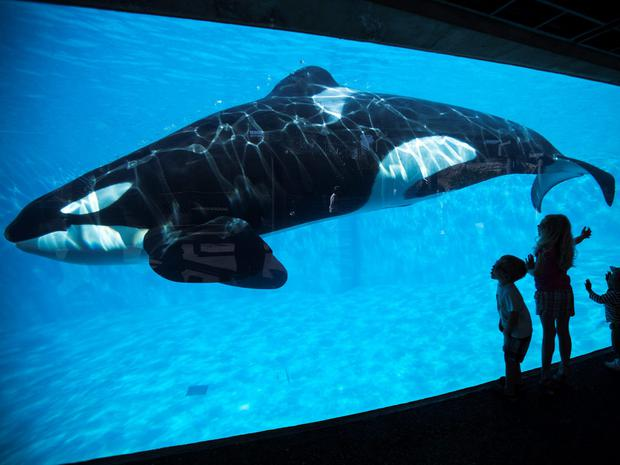Young children get a close-up view of an Orca killer whale during a visit to the animal theme park SeaWorld in San Diego, California. The battle over a proposed ban in California on using killer whales in entertainment shows at amusement parks like SeaWorld stepped up on Monday, as animal rights activists converged on Sacramento to present petitions they said were signed by 1.2 million people worldwide. REUTERS/Mike Blake/Files