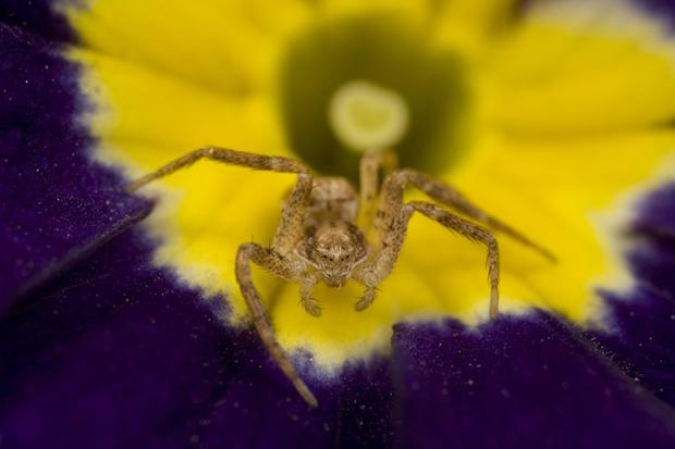 A Sac spider - a yellow sac version of the spider has sparked a recall of some vehicles.