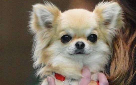 Valenchino Chihuahua Xena, who was named Best Puppy in Breed at Crufts 2014, was snatched with four other dogs Photo: Humberside Police
