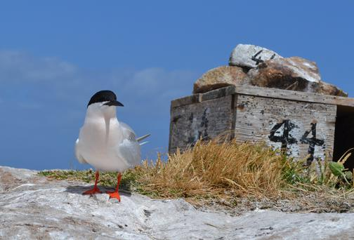 Star tern: The endangered roseate tern which breeds each year on Rockabill Island in the Irish Sea off the coast of Skerries.