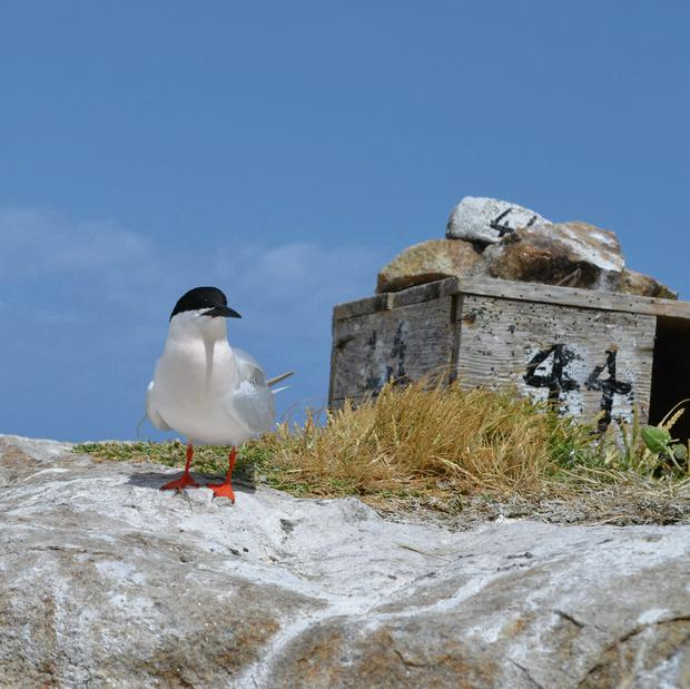The endangered roseate tern which breeds each year on Rockabill Island in the Irish Sea off the coast of Skerries.