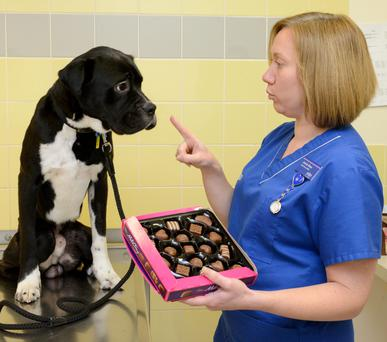 Vet Nurse Jennie Keen with Bruiser the dog in Gillingham, Kent. People are being urged to keep their Easter treats out of reach of their pets after research revealed that thousands of animals are fed chocolate by their owners. Photo: PDSA/PA Wire