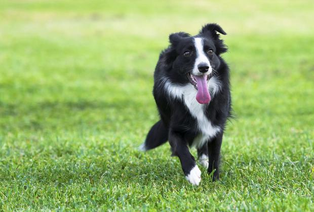 A border collie called Jess was discovered to be an accidental car vandal