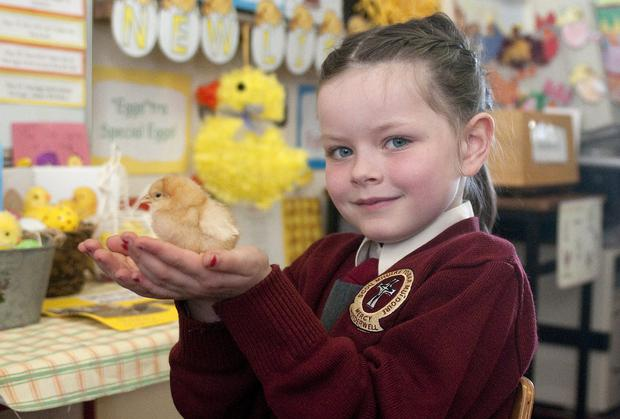 Yasmin Reidy-Houlihan, from Moyderwell NS, Tralee, with Easter chicks that hatched in their classroom.