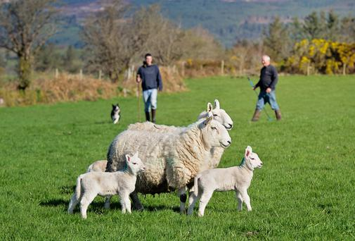 Father and son John and Pat Coffey from the Nire Valley, Co Waterford, with sheepdog Beck, out checking their flock of North Country Cheviol ewes and lambs. Photo: Jennifer O'Sullivan