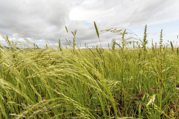 A field of superfood teff