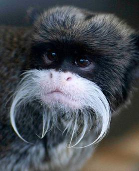 One of five tamarin monkeys that were stolen from Blackpool Zoo as four of the five had been recovered in Yorkshire and were now safely back at the zoo