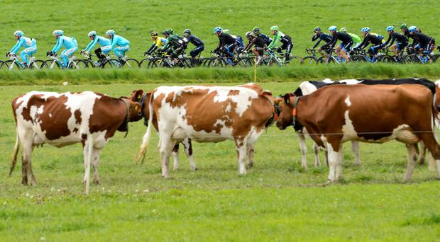 The pack of cyclists ride in behind cows during the 4th stage, a 173,1 km race from Fribourg to Fribourg, at the 68th Tour de Romandie UCI ProTour cycling race in Posieux, Switzerland. (AP Photo/Keystone, Jean-Christophe Bott)