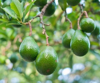 'Avocados can be a great aid in the battle of the bulge and can also protect our heart health.'